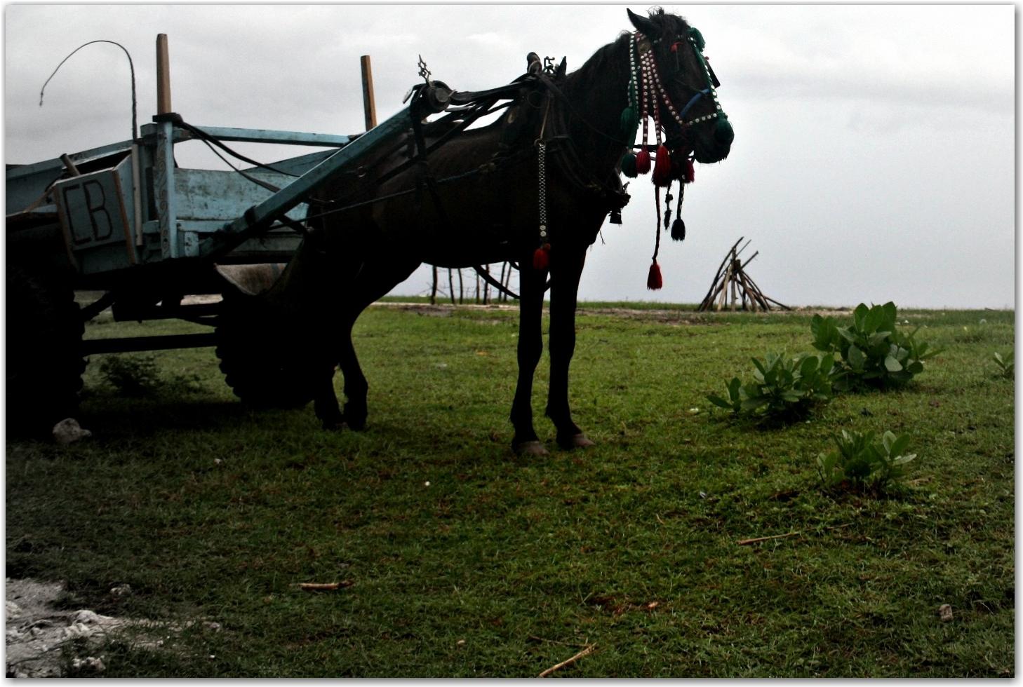 Gili Trawangan horses