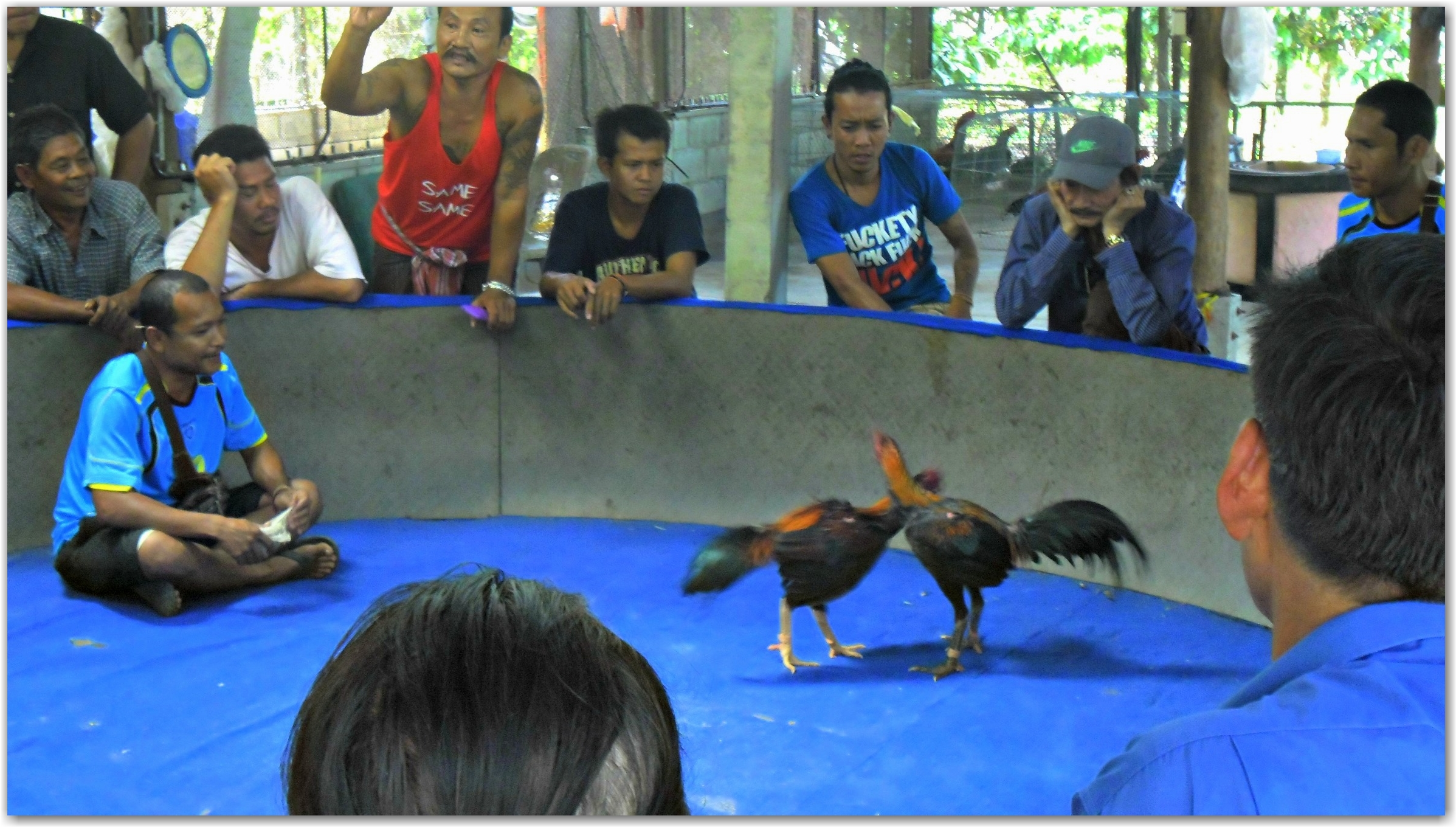 cockfight in Koh Chang