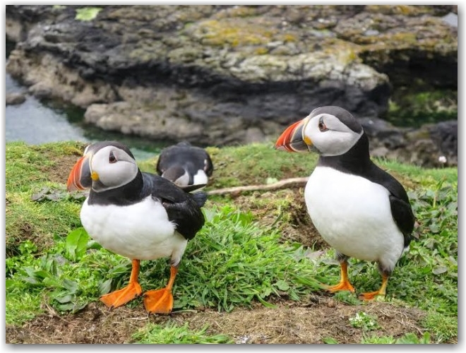 puffins on the Isle of Mull